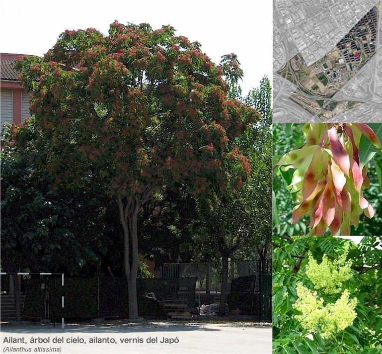 Ailanthus altissimatot